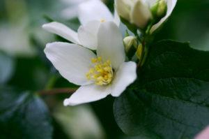 syringaPhiladelphuslewisiiflower